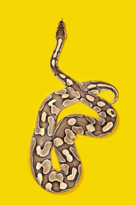 Ball-Python-Python-regis