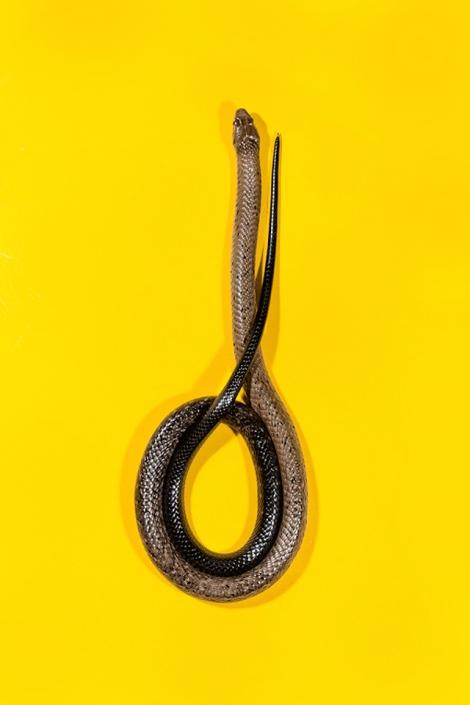Forest-Cobra-Naja-melanoleuca-