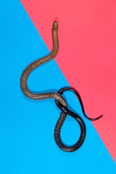 Forest-Cobra-Naja-melanoleuca2