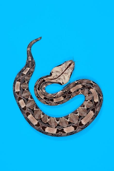Gaboon-Viper-Bitis-gabonica-