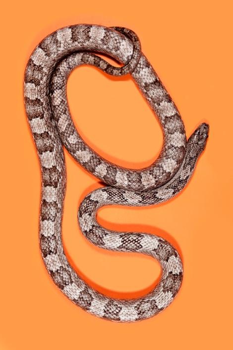 Grey-Rat-Snake-Pantherophis-spiloides