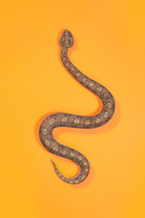 Horned-Adder-Bitis-caudalis