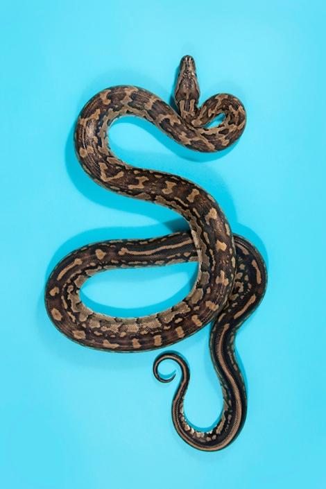 Southern-African-Rock-Python-Python-natalensis-